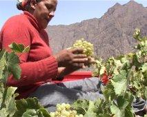 Fogo (Capo Verde), coltura della vite nella caldera del vulcano - 2/30